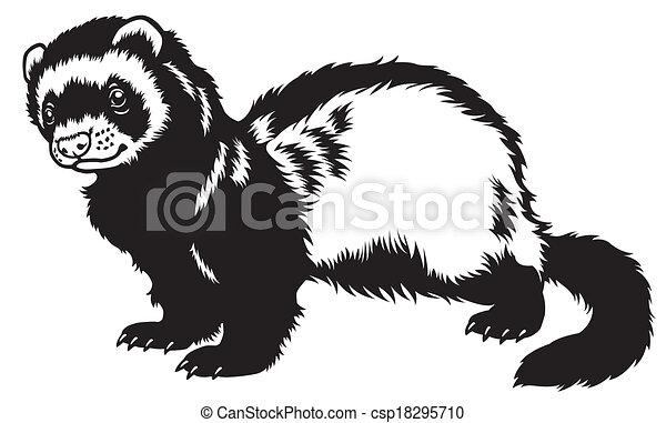 ferret black white - csp18295710