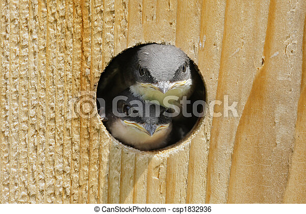 Baby Birds In a Bird House - csp1832936