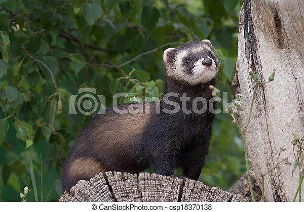 Polecat-coloured Ferret - csp18370138