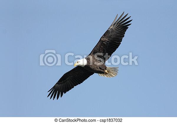 Adult Bald Eagle (haliaeetus leucocephalus) - csp1837032