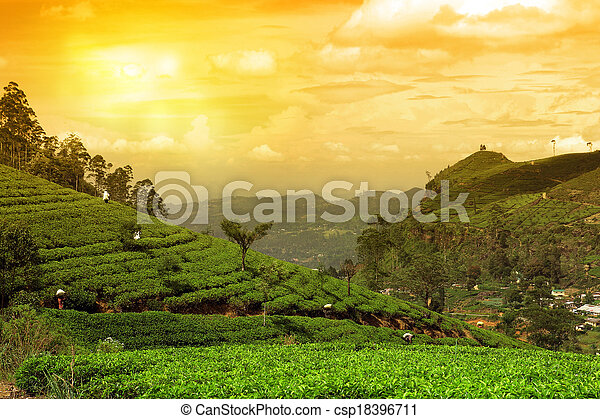 tea plantation landscape sunset - csp18396711