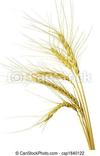 Wheat head isolated on white background - csp1840122