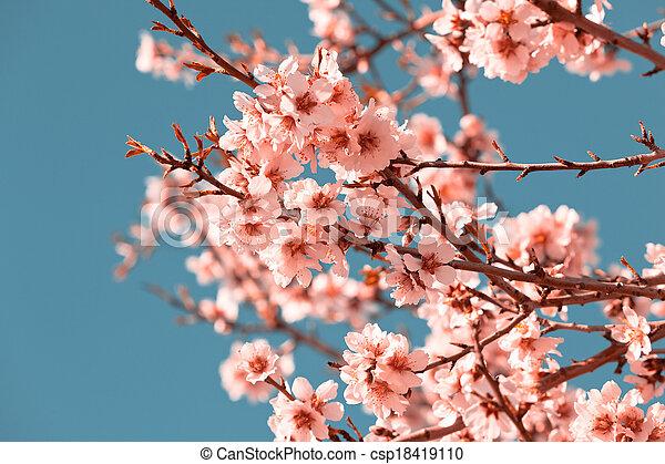 photographies de rose p che printemps arbre fleurir fleurs rose csp18419110. Black Bedroom Furniture Sets. Home Design Ideas