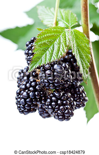 Blackberries on the twig - csp18424879