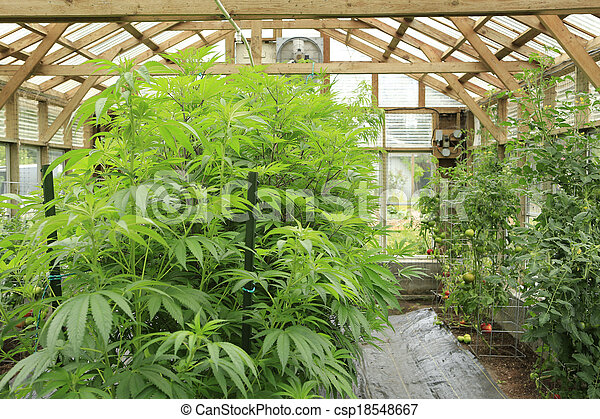 Marijuana ( cannabis), hemp plant growing inside of the green house in private garden of Washington State. Legal Medical marijuana law in US. Grower uses leaves to make juice for health support. - csp18548667
