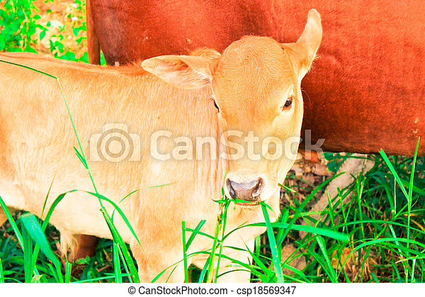 young baby cow with mom eat fresh green grass on soil ground, culture thai agriculture vintage style - csp18569347