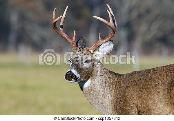 Whitetail deer buck - csp1857842
