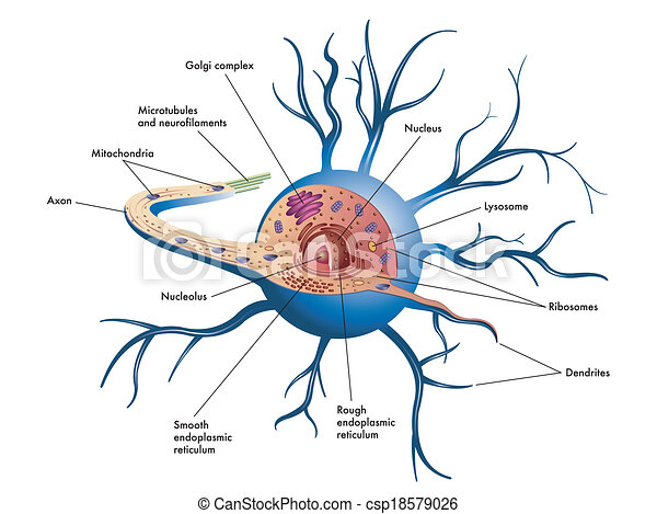 nerve images and stock photos 13 429 nerve photography and  : brain nerve cell diagram - findchart.co