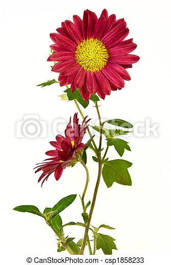 Pair of uncultivated chrysanthemum - csp1858233