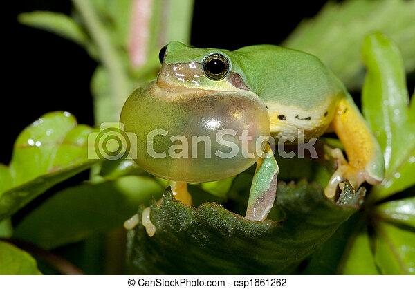 Tree frog courtship in spring - csp1861262