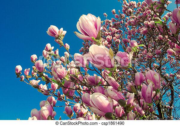 blooming magnolia tree in april - csp1861490