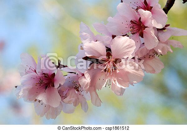 blooming cherry plum tree twig  - csp1861512