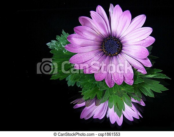Gerbera Reflection - csp1861553