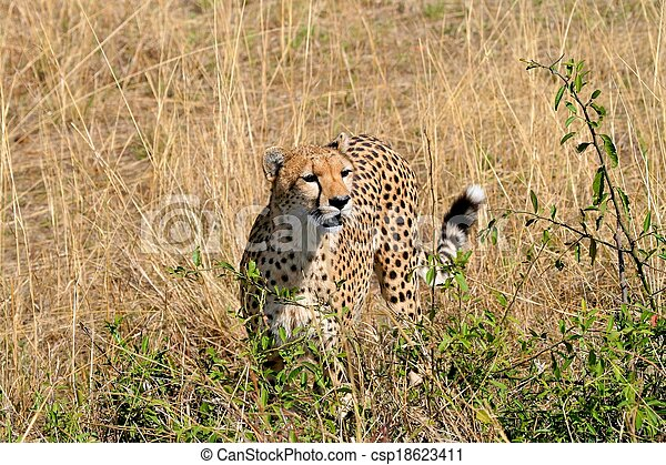 Cheetah in the park - csp18623411