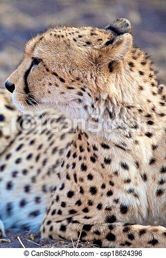 Cheetah in the park - csp18624396