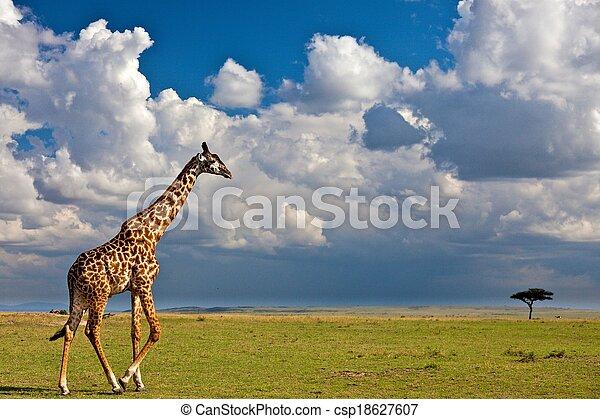 Giraffe in the wild - csp18627607