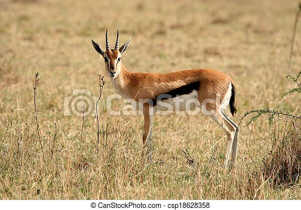 impala in Tanzania national park - csp18628358
