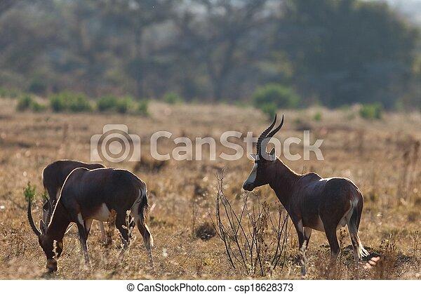 impala in Tanzania national park - csp18628373