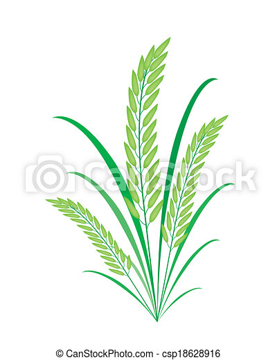 Vector Clip Art of Cereal Plants or Green Rice on White Background ...