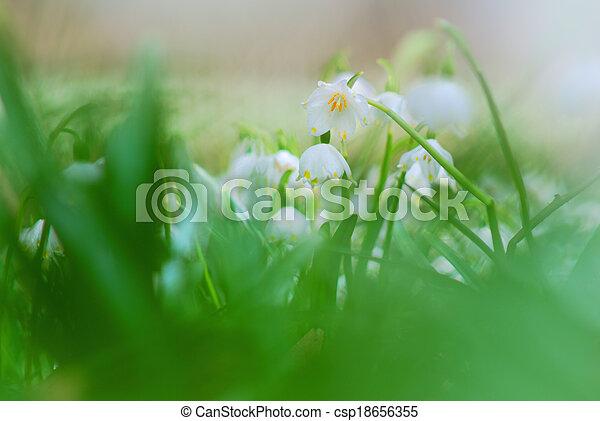 Beautiful Spring Snowflakes flowers in closeup detail - csp18656355