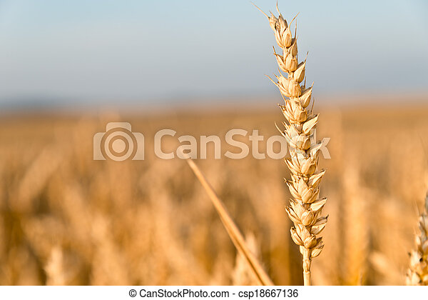 detail of wheat - csp18667136