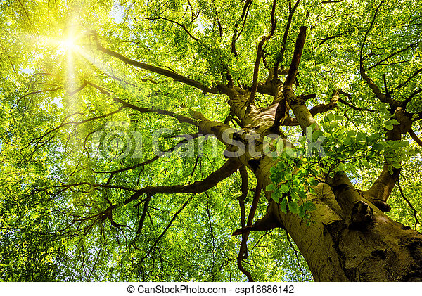 Sun shining through an old beech tree - csp18686142
