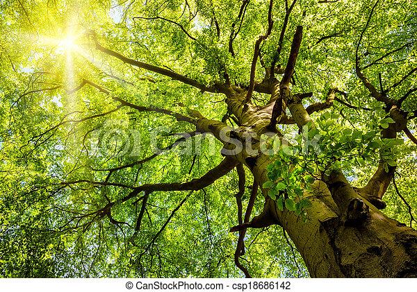 老, 太陽, 樹, 透過, 山毛櫸, 發光 - csp18686142