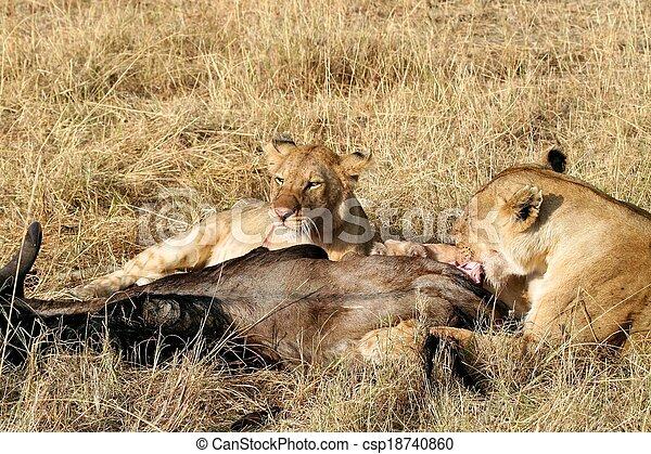 Animals Hunting, Safari Animals, Uganda, Tanzania, Masai Mara, Kenya, Africa, Dead Animal, Animals In The Wild, Lion, Zebra, Mammal, Animal, Meat, Dead Body, Outdoors, Cruel, Lioness, Female Animal, T - csp18740860