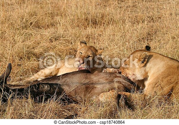 Animals Hunting, Safari Animals, Uganda, Tanzania, Masai Mara, Kenya, Africa, Dead Animal, Animals In The Wild, Lion, Zebra, Mammal, Animal, Meat, Dead Body, Outdoors, Cruel, Lioness, Female Animal, T - csp18740864