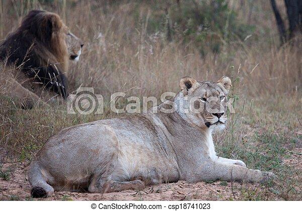 lions of Tanzania National park - csp18741023