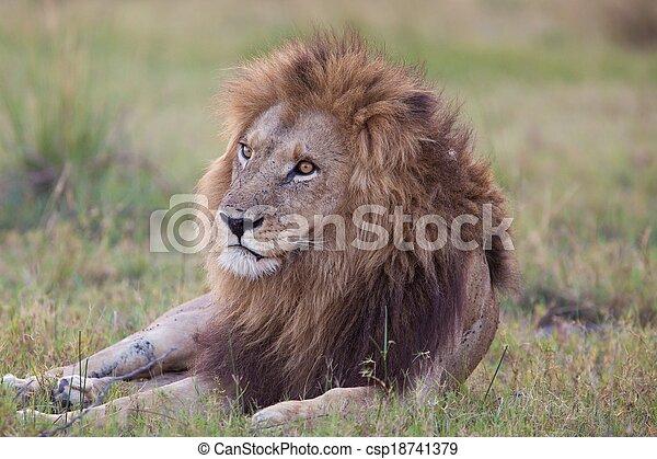 lions of Tanzania National park - csp18741379