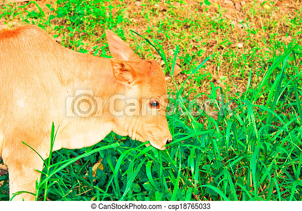 young baby cow  eat fresh green grass on soil ground, culture thai agriculture vintage style - csp18765033