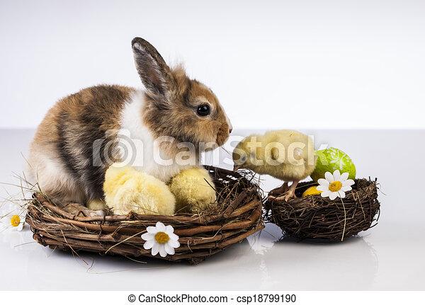 Easter, Bunny, Rabbit, Chicken - csp18799190