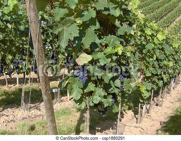 wineyard in franconia - csp1880291