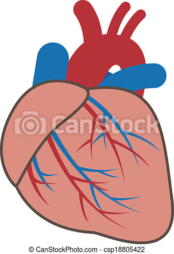 Circulatory System furthermore Human Digestive System Diagram Labeled For Class 7 besides Circulatory System Diagram besides Default moreover Cardiovascular System 18805422. on easy to draw circulatory system