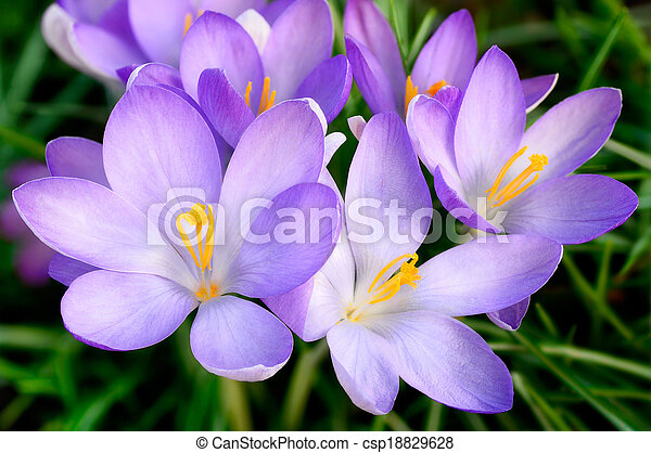 Bunch of crocus flowers - csp18829628