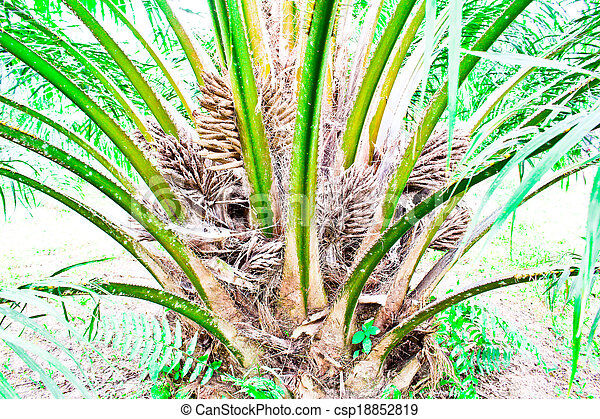 oil Palm tree and fruits branch in agriculture farm plantation - csp18852819