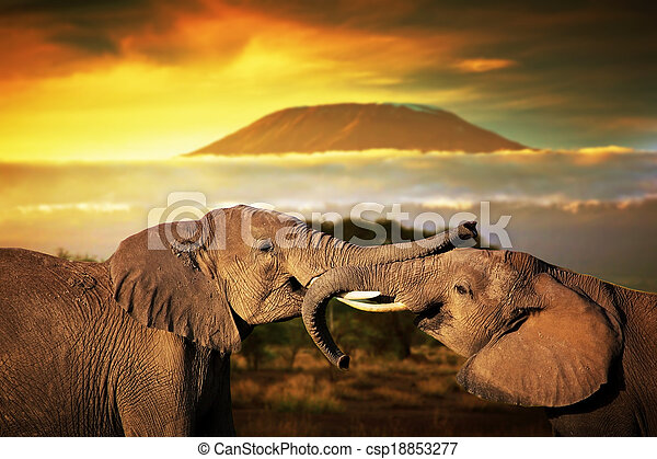 Elephants playing with their trunks on savanna. Mount Kilimanjaro at sunset - csp18853277