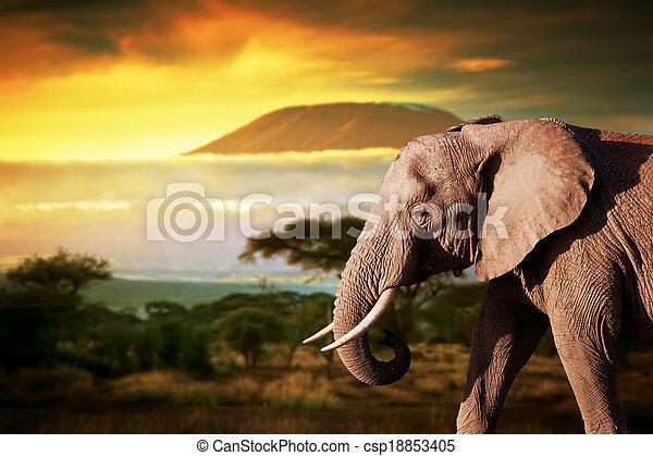 Elephant on savanna. Mount Kilimanjaro at sunset in the background - csp18853405