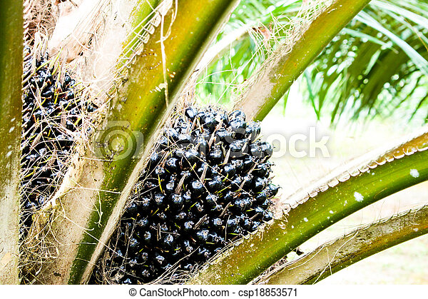 oil Palm tree and fruits branch in agriculture farm plantation - csp18853571