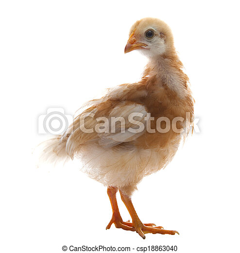 close up of young chicken with brown feather plumage isolated white background use for livestock farm animals and lovely pets and multipurpose - csp18863040