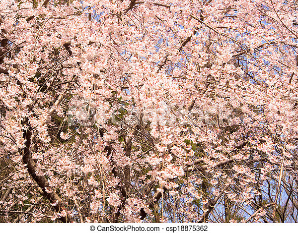 Blooming weeping cherry blossom - csp18875362