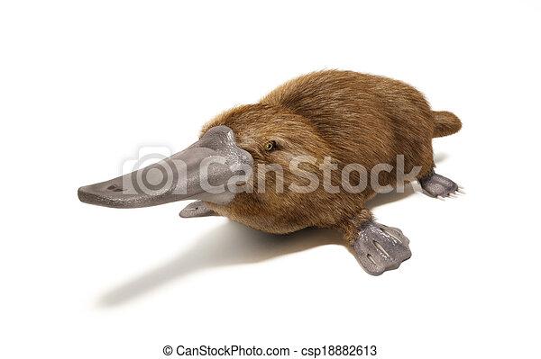 Platypus duck-billed animal. - csp18882613