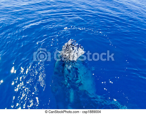 Marine Mammal - Humpback whale in the ocean - csp1889004