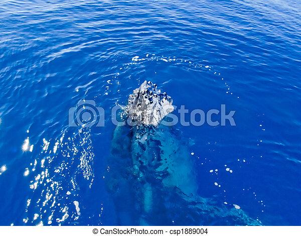 Marine Mammal - Humpback whale in the ocean - csp1889004