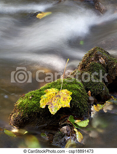 Colorful maple leaf on a mossy stone in the middle of a stream - csp18891473
