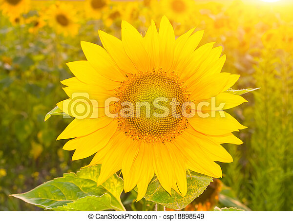 Sunflower in field at sunset  - csp18898549