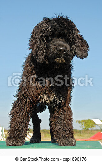 puppy portuguese water dog - csp1896176