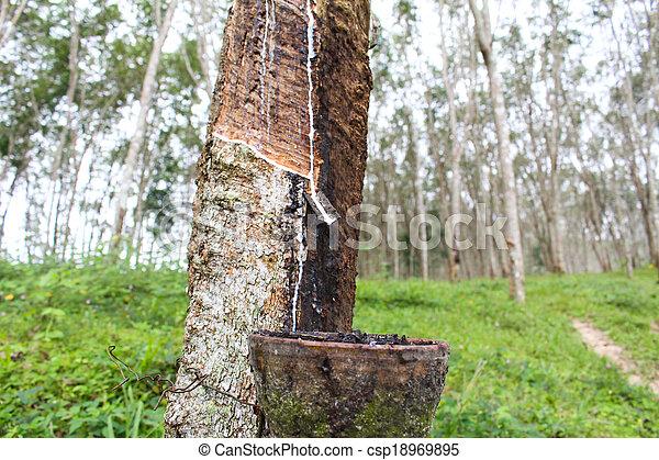Caoutchouc arbre