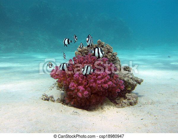coral reef with hard coral and exotic fishes white-tailed damselfish  at the bottom of tropical sea  on blue water background - csp18980947